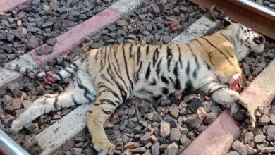 Photo of जिला छत्तीसगढ़ राजनांदगांव मां के साथ रेलवे ट्रैक क्रॉस कर रहा था इसी बीच मालगाड़ी की चपेट में आने से बाघ की हुई मौत सूचना पर पहुंची वन विभाग की टीम पोस्टमार्टम कर किया अंतिम संस्कार। |